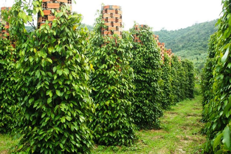 Vườn tiêu Phú Quốc